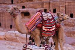 Camels with Bedouin Saddle in Petra, Jordan