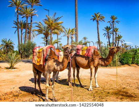 Camels with typical Berber saddles in a Palmeraie near Marrakesh, Morocco. The sahara desert is situated in Africa. Dromedars are staying in sand.