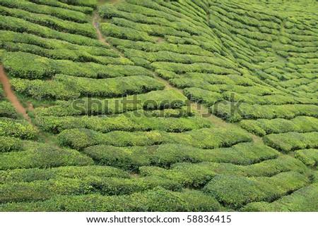 Cameron highland green tea plant