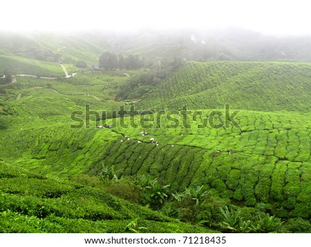 cameron highland tea plant at morning - stock photo