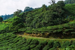 Cameron Valley Tea Plantation on a cloudy day. Narrow road through the farm. Tea plants cover the scenery.