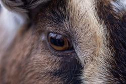 Cameroon goat eye detail closeup