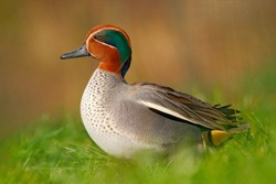 Camnon Teal, Anas crecca, nice duck with rusty head, in green grass. Bird near the water. Wildlife scene from nature.