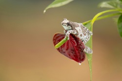 Camo frog on red exotic flower