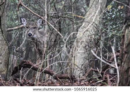 Camoflauged deer in dense holly forest. Taken on Fire Island NY.