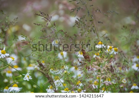 camomile blooms wild blooming. on a natural meadow #1424211647