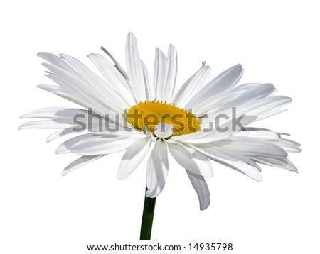 Camomile flower macro isolated over white with clipping path - stock photo