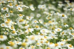 camomile flowers tea summer white yellow field