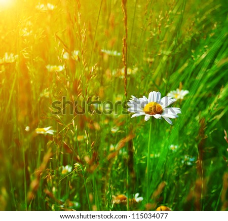 Camomile in the grass on a sunny day. Wildflower meadow