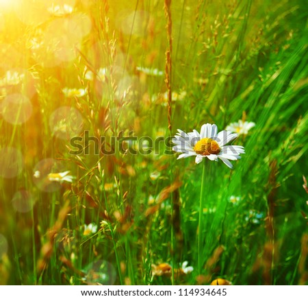 Camomile in the grass on a sunny day. Wildflower meadow. bokeh background.