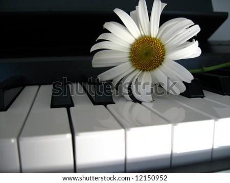 Camomile on a piano