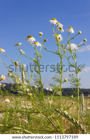 camomile or chamomile flower in corn field under blue sky summer sunshine day in rural countryside of south germany #1113797189