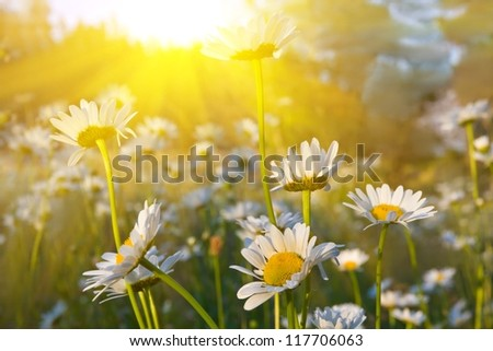 camomiles in a rays of evening sun - stock photo