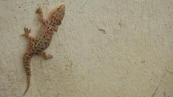 Camouflage Animals  Gecko - close up Camouflage lizards It's also called Mediterranean house gecko, akdeniz sakanguru, pacific house gecko, wall gecko, house lizard