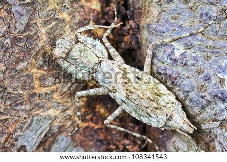 Camouflage for grasshopper at bark of tree in Forest