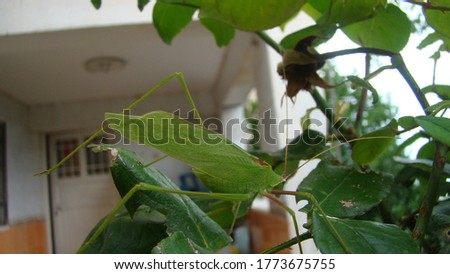 camouflage insect on the garden | ktaydid