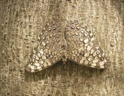 Camouflage of a butterfly on the bark of a tree