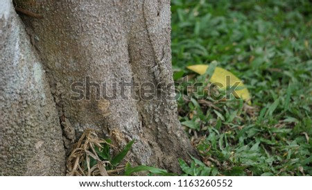 Camouflage of a lizard on the bark of a tree in the forest in Khao Yai national park,Thailand. Wildlife,survival,adaptation concept.