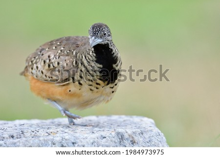 camouflage with black chest bird making moon walking with dancing steps on rock in nature, female of Barred Buttonquail (Turnix suscitator) Photo stock ©