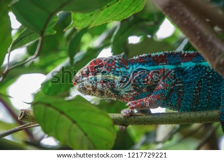 Stock Photo Camouflaged blue red white Chameleon (Chamaeleonidae) on branch hiding