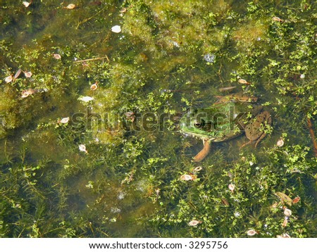 Camouflaged Frog in a Pond