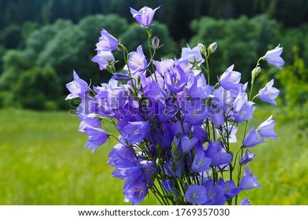 Campanula bellflower flower in field, sunlight. Bouquet of wildflowers, beautiful bells Photo stock ©