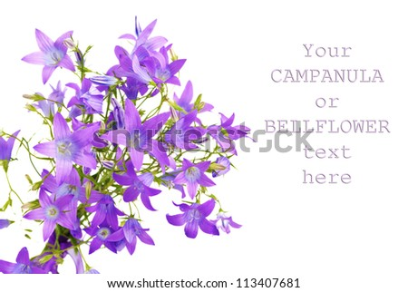 Campanula bellflower flowers closeup isolated on white background with copy-space