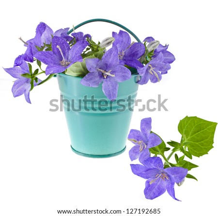 Campanula blue flower bouquet in the bucket isolated on white background