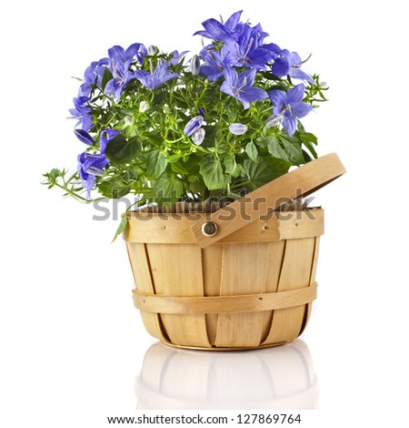 Campanula blue flower in wooden basket isolated on white background