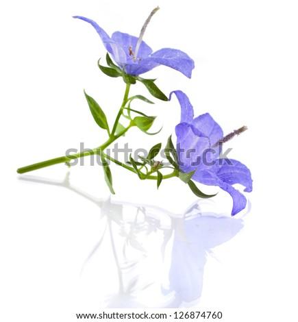 Campanula blue flower isolated on white background