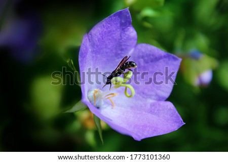 Campanula carpatica Blue Clips Flower & Tiny Bee  Photo stock ©