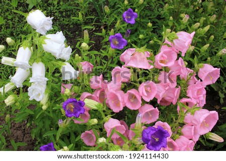 Campanula champion, Canterbury Bells, or Bellflower in the spring or summer garden. Close-up of pink, purple, white bell-shaped flowers. Natural floral background. Selective focus   Photo stock ©