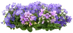Campanula. Cut out blue and pink flowers. Flower bed isolated on white background. Bush for garden design or landscaping. High quality clipping mask.