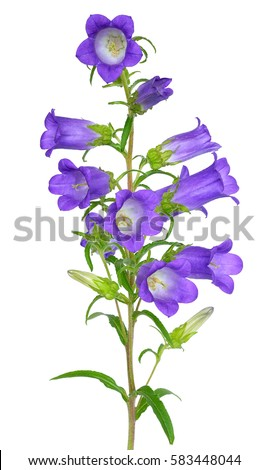 Campanula flower isolated on white background