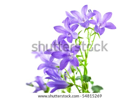 campanula flowers isolated on white background. horizontal shot