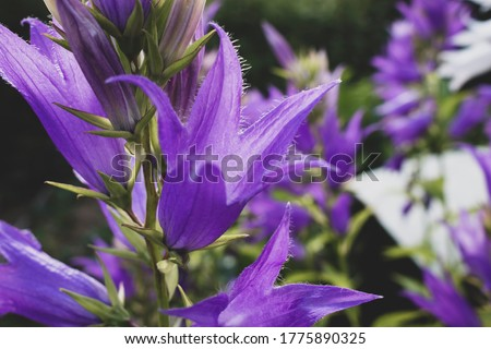 Campanula latifolia, the giant bellflower, is a species of bellflower in the family Campanulaceae. It is also known as the large campanula and the wide-leaved bellflower.  Photo stock ©