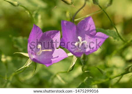 Campanula or commonly known as bell flowers are summer blossoms. These plants can come as annuals or perennials.
