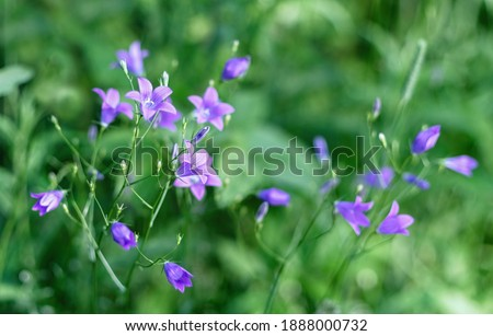 Campanula patula wild flowering plant, purple bellflowers flowers on background of green grass. Summer floral background. Selective focus. Photo stock ©