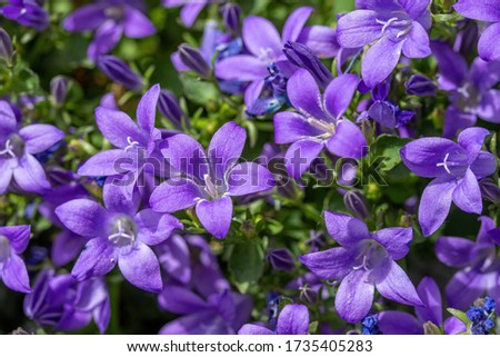 Campanula persicifolia ( Bellflower peach leaves , Campanula Persian or stick Jacob), purple bell flowers in summer garden Photo stock ©