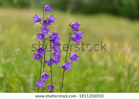 Campanula persicifolia, the peach-leaved bellflower is a flowering plant species in the family Campanulaceae. Adorable flowers of Campanula persicifolia in evening orange light with blurred bokeh.  Photo stock ©