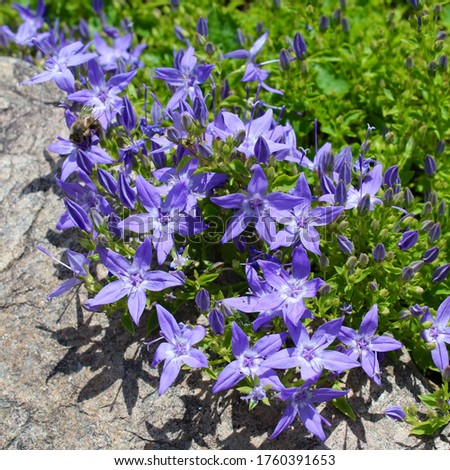 Campanula Poscharskyana 'Blue Gown', the blue star-shaped flowers, Serbian Bellflower, close up square image. Photo stock ©