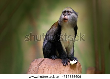 Campbell's mona monkey or Campbell's guenon monkey, Cercopithecus campbelli, in nature habitat. Primate from Ivory Coast, Gambia, Ghana. - Shutterstock ID 719856406