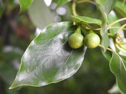 Camphor laurel leaves and seeds ( Cinnamomum camphora)