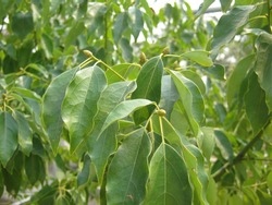 Camphor tree or Cinnamomum camphora,It is a medicinal plant that is fragrant in every part.The leaves are single leaves, arranged alternately, glossy green and oval shape. Phrae Thailand.