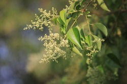 Camphor tree's leaves and white flowers(Cinnamomum camphora)