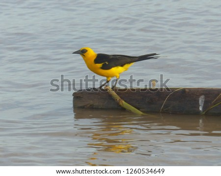Campo oriole or Campo troupial (Icterus jamacaii) is a species of bird in the family Icteridae.  Amazon river, Brazil #1260534649