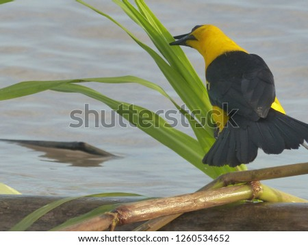 Campo oriole or Campo troupial (Icterus jamacaii) is a species of bird in the family Icteridae.  Amazon river, Brazil #1260534652