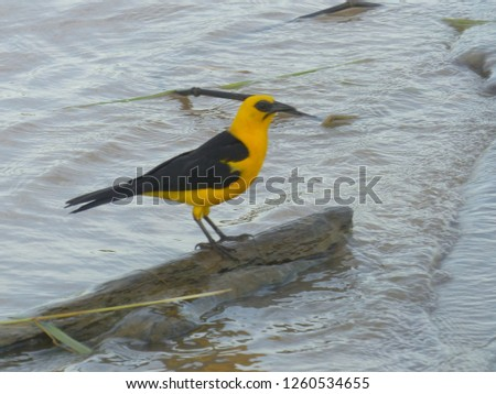 Campo oriole or Campo troupial (Icterus jamacaii) is a species of bird in the family Icteridae.  Amazon river, Brazil #1260534655