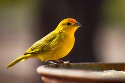 Canário-da-terra-verdadeiro (Sicalis flaveola). The true canary (Sicalis flaveola). Sitting feeding.
