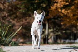 Canaan dog in autumn